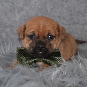 Jug Puppy For Sale – Chief, Male – Deposit Only