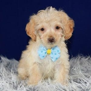 Cockapoo puppy for sale in PA