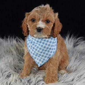 Comet Cavapoo puppy for sale in NJ