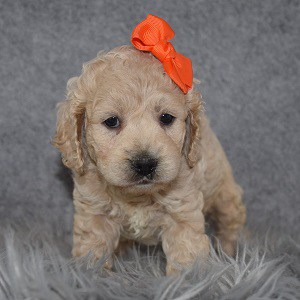 Cockapoo Puppy For Sale – Dixie, Female – Deposit Only