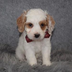 Cavapoo Puppy For Sale – Jensen, Male – Deposit Only