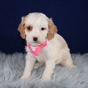 Cavapoo Puppy For Sale – Juliette, Female – Deposit Only