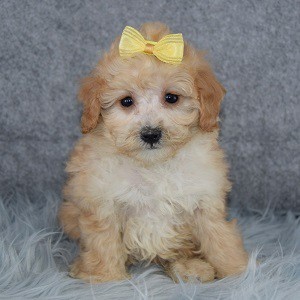 Louisiana Cockapoo puppy for sale in CT