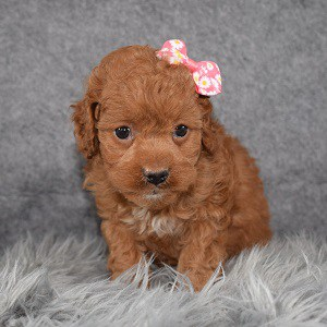 Cockapoo Puppy For Sale – Papaya, Female – Deposit Only