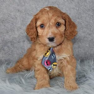 Santa Cockapoo puppy for sale in WV