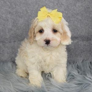 Xena Cockapoo puppy for sale in RI