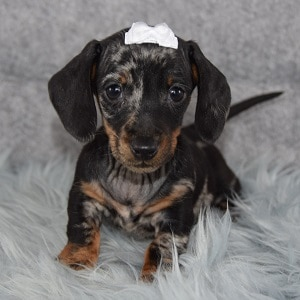 Arya Dachshund puppy for sale in NY