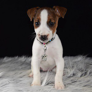 Cinnamon Jack Russell puppy for sale in NJ