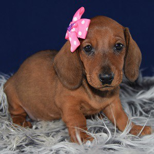 Dachshund puppy for sale in MD