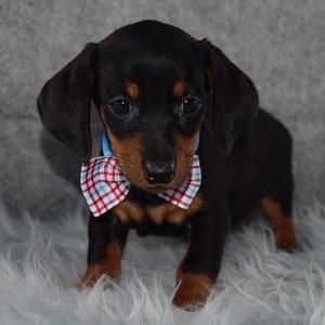 Doggo Dachshund puppy for sale in RI