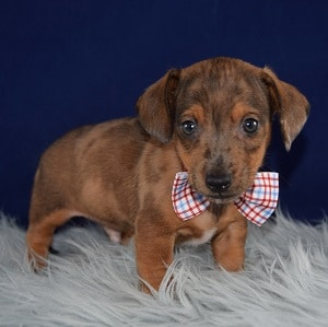 Jackshund Puppy For Sale – Willy, Male – Deposit Only
