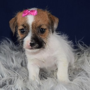 Jack Tzu Puppy For Sale – Annalise, Female – Deposit Only