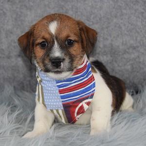 Apollo Jack Tzu puppy for sale in VA