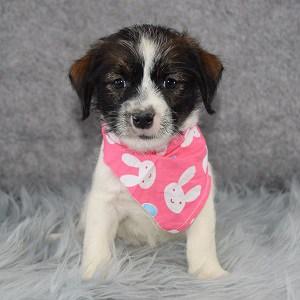 Athena Jack Tzu puppy for sale in NJ