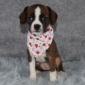 Brinley Caviston puppy for sale in NJ