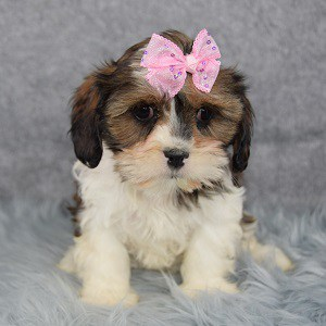 Candy Cava Tzu puppy for sale in PA
