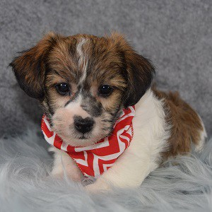 Captain Jack Tzu puppy for sale in MA