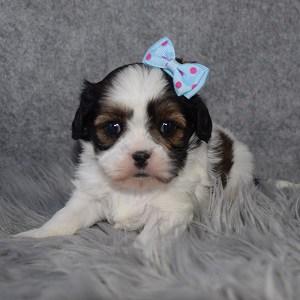 Cava Tzu Puppy For Sale – Carrigan, Female – Deposit Only