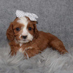 Cavapoo Puppy For Sale – Charmander, Female – Deposit Only