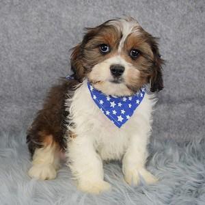 Cody Cava Tzu puppy for sale in DC