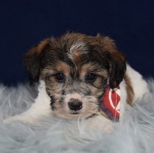 General Jac k Tzu puppy for sale in WV