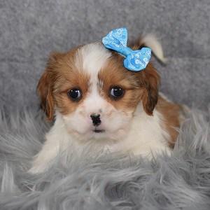 Cava Tzu Puppy For Sale – Hadley, Female – Deposit Only