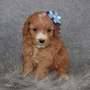 Cavapoo Puppy For Sale – Havana, Female – Deposit Only