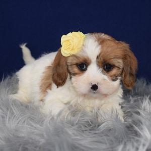 Cava Tzu Puppy For Sale – Hildie, Female – Deposit Only