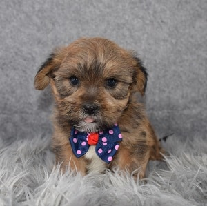 Shorkie Puppy For Sale – Hollis, Male – Deposit Only