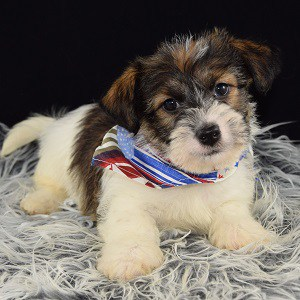 Jack Tzu puppy for sale in PA