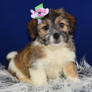 Jack Tzu puppy for sale in MD