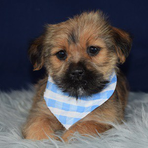 Jangle Shorkie puppy for sale in MD