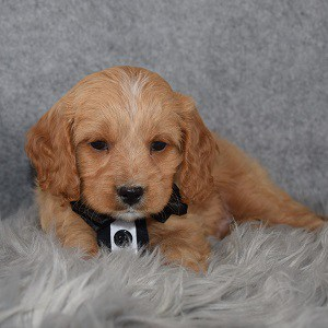 Cavapoo Puppy For Sale – Jigglypuff, Male – Deposit Only