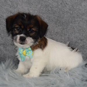 Major Jack Tzu puppy for sale in VA