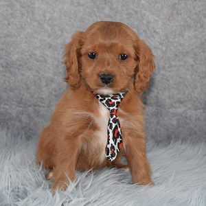 Cavapoo Puppy For Sale – Pierce, Male – Deposit Only