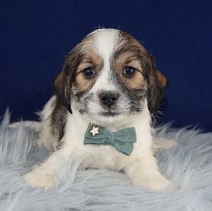 Poseidon Jack Tzu puppy for sale in WV