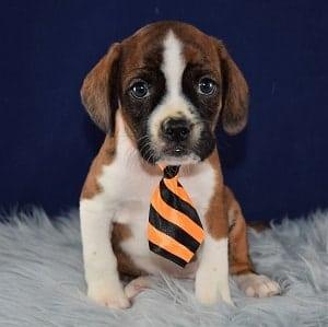 Pumpernickel Caviston puppy for sale in MD