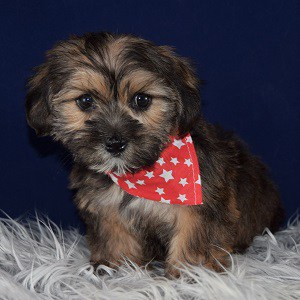 Shane Shorkie Puppy For Sale In Ma Puppies And Pet Supplies