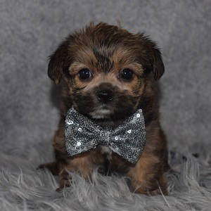 Shorkie Puppy For Sale – Simon, Male – Deposit Only