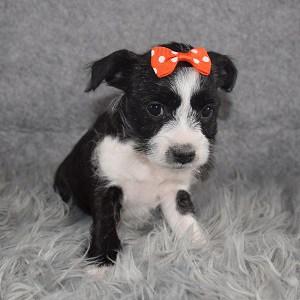 Miniboz Puppy For Sale – Venus, Female – Deposit Only