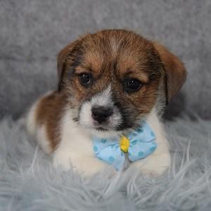 Webster Jack Tzu puppy for sale in DC