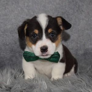 Pembroke Welsh Corgi Puppy For Sale – Butters, Male – Deposit Only
