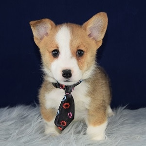 Camaro Corgi puppy for sale in PA