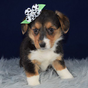 Chevelle Pembroke Welsh Corgi puppy for sale in MD