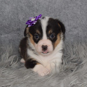 Pembroke Welsh Corgi Puppy For Sale – Cleopatra, Female – Deposit Only