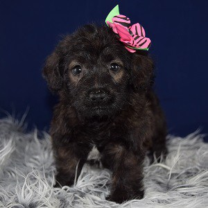 Corgipoo puppy for sale in MD