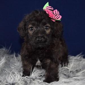 Male Corgi Puppy For Sale Peanut Puppies For Sale In Pa Ny Wv Va Nj