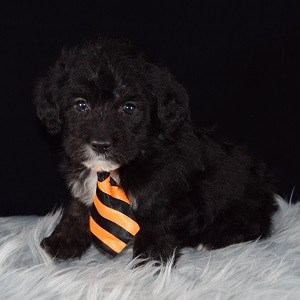 Espresso Corgipoo puppy for sale in VA