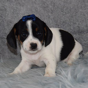 Hope CavaJug puppy for sale in MA
