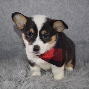 Pembroke Welsh Corgi Puppy For Sale – Kenobi, Male – Deposit Only